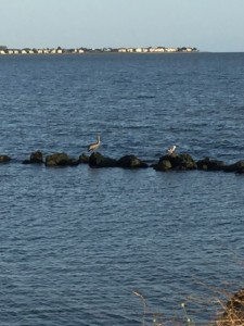 There were 5 pelicans when we went on our bike ride...and while I was pulling out my camera...only two remained.